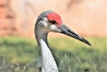 sandhill-crane-portrait